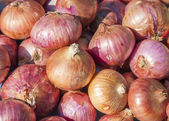 Beautiful homegrown organic red onion — Stock Photo