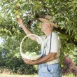 Gardener picking organic apples — Stock Photo