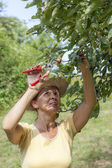 Woman trimming the apple tree — Stock Photo