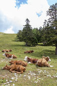 Cows lying on mountains pasture — Stock Photo