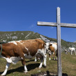 Wooden cross and cows on the mountain — Stock Photo