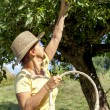 Woman picking organic apples — Stock Photo