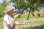 Man trimming the apple tree — Stock Photo