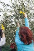 Olive farm workers at olive harvesting — ストック写真