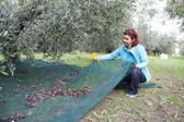 Woman collecting olives on olive harvesting net — Stock Photo