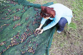 Woman collecting olives on olive harvesting net — Fotografia Stock