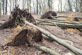 Uprooted trees after storm — Stock Photo