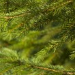 Fir tree background — Stock Photo