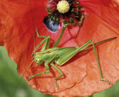 Locust an red poppy — Stock Photo