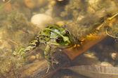 水でカエル — ストック写真