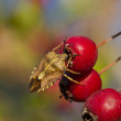 Bug an berry — Stock Photo #19027551