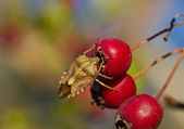 Bug an berry — Stock Photo
