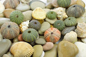Sea urchin and pebbles — Stock Photo