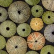 Sea urchin background - Stock Photo