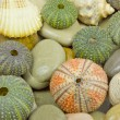 Sea urchin — Stockfoto