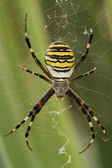 Yellow-black spider — Stock Photo