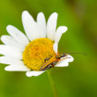 Longhorn bug an flower — Stock Photo