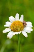 Bug an flower — Stock Photo