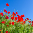 Poppy background — Stock Photo