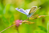 Common blue — Stock Photo