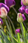 Tulips in sunny day — Stock Photo