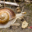 Snail close up — Stock fotografie