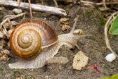 Snail close up — Stock Photo