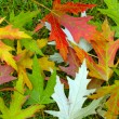 Maple leaves color — Stock Photo