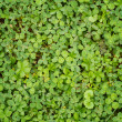 Leaf clover background — Stock Photo