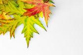 Izole sonbaharda akçaağaç yaprağı — Stok fotoğraf