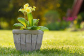 Yellow flower in the pots — Stock Photo