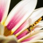 Bee on flower — Stock Photo #50727549