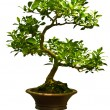 Green bonsai tree - Stock Photo