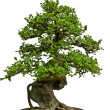 Green bonsai tree — Stock Photo