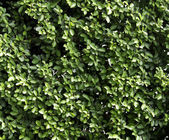Pattern carmona Retusa (Vahl) Masam plant — Stock Photo