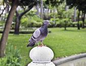 在城市公园中的一个鸽子 — 图库照片