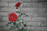 Vintage Rose flower against a brick wall with text space — Stock Photo