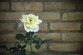Vintage Yellow Rose — Stock Photo