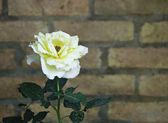 Close up of rose flower against a brick wall — Stock Photo