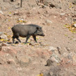 Stock Photo: Wild boar in wild nature