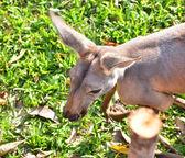 Close up of Kangaroo — Foto de Stock