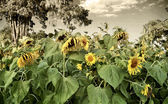 Withering sunflowers in field — Zdjęcie stockowe