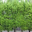 Stock Photo: Evergreen foliage