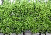 Vintergröna blad — Stockfoto