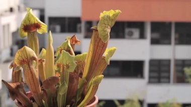 Carnivorous pitcher plant in pot — Stock Video
