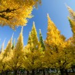 The ginkgo trees against blue sky — Stock Photo
