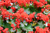 Big begonia — Stock Photo