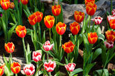 Beautiful colorful tulips — Stock Photo
