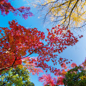 Colorful maple leaf background in autumn — Stock Photo