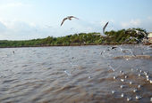Seagull is a bird migration to Thailand — Stok fotoğraf